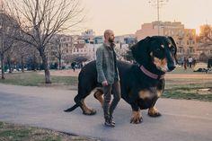 Un bassotto gigante si trasferisce a Brooklyn