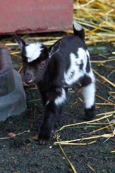 Nigerian Dwarf Goat (miniature dairy goat breed)