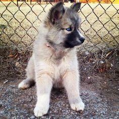 Husky / German Shepard Mix. I MUST HAVE.