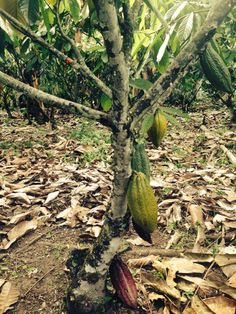 Cacao plant in Colombia
