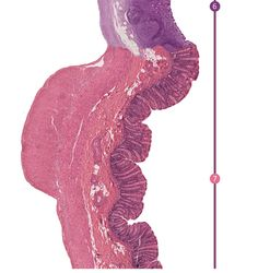 The Seamless Gut by i-heart-histo Each region of your digestive tract is histologically different. Specialized in its own unique way to impart a specific function. When the different regions of these...