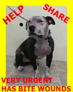 Manhattan Center KIND - A1024160 *** DOH HOLD 12/27/14 *** SPAYED FEMALE, BR BRINDLE / WHITE, PIT BULL MIX, 2 yrs STRAY - ONHOLDHERE, HOLD FOR DOH-NHB Reason STRAY Intake condition INJ SEVERE Intake Date 12/27/2014, From NY 10031, DueOut Date https://www.facebook.com/Urgentdeathrowdogs/photos/pb.152876678058553.-2207520000.1419796830./930334320312781/?type=3&theater
