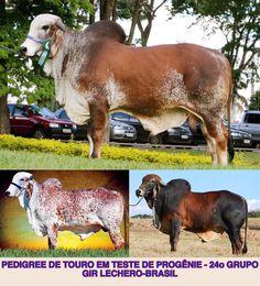 Gir Lechero