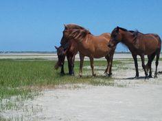 Shackleford Island NC, Ponies