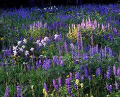 Lupine and Columbine, Grand Mesa Lupine Flowers, Rare Flowers, Wild Flowers, Front Yard Patio, Colorado Wildflowers, The Fresh, Rocky Mountains, Beautiful Landscapes, Science Nature