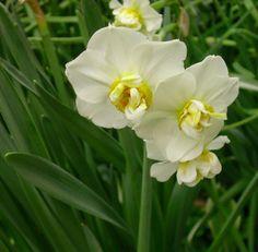 Narcissus 'Cheerfulness' http://lefotodiluisella.blogspot.it/