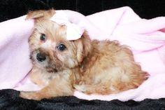Golden Morkie Puppies, for Sale in Durant, Oklahoma Classified | AmericanListed.com