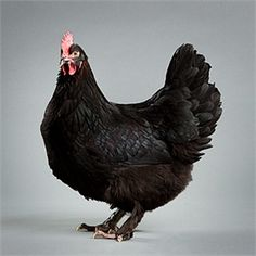 Black Copper Marans - dark brown egg - cold hardy