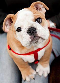 Bulldog puppy - such a sweet face! #puppy