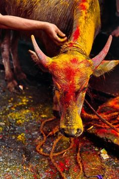 All Creatures Great and Small, India photo by Steve McCurry Hindu Festivals, Indian Festivals, Steve Mccurry Photos, Kitsch, Travel Photographie, World Press Photo, Holi Festival Of Colours, Namaste, Afghan Girl