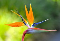 Bird Paradise Flower Logo | Recent Photos The Commons Getty Collection Galleries World Map App ...