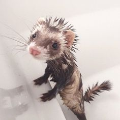 Bathing and Grooming Your Ferret Best Picture For Exotic pets foxes For Your Taste You are looking for something, and Ferrets Care, Baby Ferrets, Funny Ferrets, Pet Ferret, Ferret Meme, Cute Little Animals, Cute Funny Animals, Cute Dogs, Funny Animal Pictures