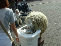 This thirsty sheep. | 61 Images Of Animals That Are Guaranteed To Make You Smile