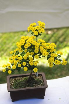 Bonsai Chrysanthemum. Those who don't believe in Magic will never find it. Roald Dahl