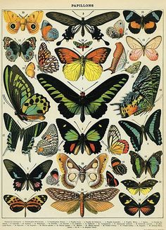 Butterflies poster by cavallini & co
