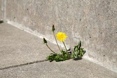 Use baking soda to kill weeds. I did this with the weeds growing between the cracks in our patio and it actually works!