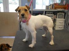 Oakley is an adoptable Jack Russell Terrier Dog in Panora, IA. AGE:� 3-5 years? DESCRIPTION: Jack Russell Mix Oakley is a doll in person. She is Adorable. She is a little timid at first and will take ...
