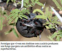 Formicamicinas: Novos antibióticos cultivados por formigas  Bactérias encontradas em uma espécie de formiga africana produzem um antibiótico muito potente contra as superbactérias resistentes aos antibióticos, como a MRSA