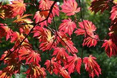 Acer japonicum 'Aconitifolium' (aka Japanese Maple)