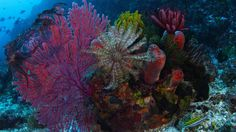 Komodo National Park | Gorgonian coral, crinoid, and sponges, Komodo National Park, Indonesia ...