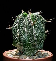 Cactus - 'Astrophytum ornatum'.