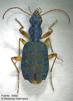 Quammenis spectabilis, credit: INBio, http://eol.org/data_objects/13119864#