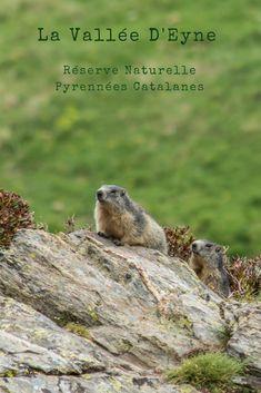 Marmottes dans la Vallée d'Eyne (Réserve Naturelle Pyrénées Catalanes). Itinéraire et photos de notre rando sur randotrip.net. The Good Place, Wildlife, Photos, Amazing Places, Beautiful, Travel, Pictures