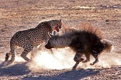 https://images.earthtouchnews.com/media/1740/2013-12-05-the-hunger-games-cheetah-jackal-brown-hyena-15.jpg