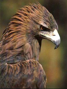 Eagle Pictures, Bird Pictures, Wild Animals Pictures, Animal Pictures, Nature Animals, Animals And Pets, Beautiful Birds, Animals Beautiful, Eagle Wallpaper