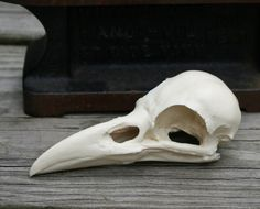 crow skull replica by skullery on Etsy