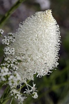 HAVE A NICE DAY — sweetlysurreal: Xerophyllum tenax (Beargrass)