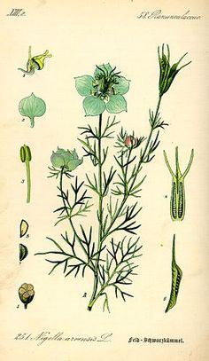 Nigelle des champs - Nigella arvensis L.