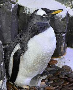 "Pinguin-Baby ""Knöpfle"" im SEA LIFE Konstanz"