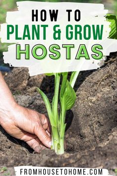 Learn everything you need to know about Hosta care. From how to plant Hostas, where to grow Hostas, how to divide Hostas and even how to grow them in pots, you'll be well on your way to growing these beautiful shade plants in your garden. #fromhousetohome #shade #garden #hostas #shadeperennials Partial Shade Perennials, Shade Flowers Perennial, Full Sun Perennials, Flowers Perennials, Shade Plants, Gardening For Beginners, Gardening Tips, Perennial Bushes, Transplant Hostas