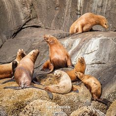 TGIF!! Time to rally a few mates and enjoy the weekend!  Subject: Stellar sea lion Location: Alaska  #timplowdenphotography #sealion #marine #marineanimals #mammal #sea #flippers #water #swim #endangered #seacreatures #rookery #alaska #animal #wild #wildlife #nature #naturephotography #travel #igtravel #traveling #travelgram #igers #igdaily #educate