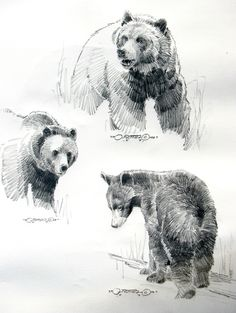 "black bear head study   Bear Studies"""