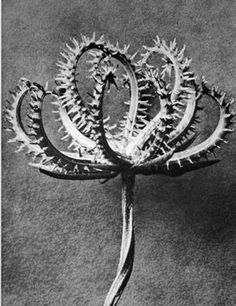 Wonderful black and white photographic image for decorators, large format ideal for framing. Great botanical plant study by the famous german photographer and artist, Karl Blossfeldt. Karl Blossfeldt, Botanical Art, Botanical Illustration, Macro Photography, White Photography, Minimalist Photography, Urban Photography, Color Photography, Natural Form Art