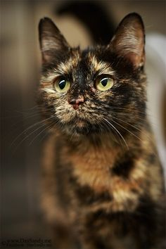 Only female cats can be tortoiseshell because the coat colour gene is sex-linked & in all cells one X chromosome becomes inactive. Each allele is either black or orange & because the process is random it results in orange and black patches across the body. http://ift.tt/1NSS0uT