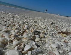 Sea Shells on Barefoot beach, Naples Florida  I remember I hid a pailful in our trunk. I didn't realize the small shells I collected that morning had live little creatures inside. Boy did the car start stinking by that evening!