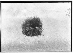 Echidna Rolled Up (photo), by HJ Burrell, 1914-1918 © Australian Museum
