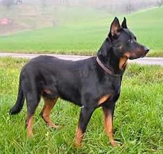 The Beauceron . It is also known as Berger de Beauce, Bas Rouge, or French Shorthaired Shepherd. Pet Vet, Pet Dogs, Dogs And Puppies, Dog Cat, Herding Dogs, Purebred Dogs, Huge Dogs, I Love Dogs, Rottweiler