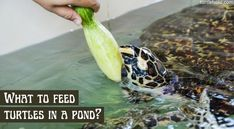 what do you feed a turtle in pond Turtle Care, Pet Turtle, Turtle Diet, Freshwater Turtles, Meal Worms, Aquatic Turtles, Red Eared Slider, Turtle Pond, Carrot Top