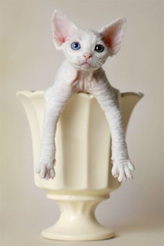 Devon Rex Cat History The Devon Rex is a breed of cat with a curly, very soft short coat similar to that of the Cornish Rex. The first Devon. Puppies And Kitties, Cats And Kittens, Devon Rex Katzen, Beautiful Cats, Animals Beautiful, Cute Hairless Cat, Animals And Pets, Cute Animals, Devon Rex Cats