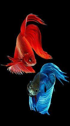 The Siamese fighting fish (Betta splendens) Betta Aquarium, Betta Fish Tank, Colorful Fish, Tropical Fish, Beautiful Fish, Animals Beautiful, Amoled Wallpapers, Fish Wallpaper, Siamese Fighting Fish