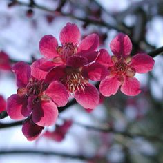 Prunus mume: Chinese Plums and Japanese Apricots