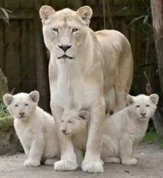 Birth of three small white lions at the zoo in La Fleche