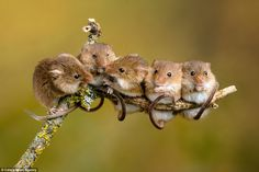 Mice to meet you! Photographer captures adorable mouse romance Miles Herbert, who spotted loved-up rodents sharing a romantic moment while kissing on a single twig in Hampshire. The pair rubbed their noses together when they met up in the branches. Cute Creatures, Beautiful Creatures, Animals Beautiful, Nature Animals, Animals And Pets, Small Animals, Felt Animals, Cute Baby Animals, Funny Animals