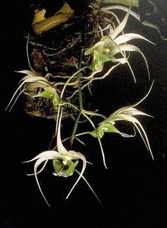 Aeranthes henrici     Pridgeon (Ed.) (1968) Orchids; Reprint: Cooper