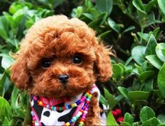 Toy Poodle Puppy- awww melts my heart