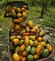 Cocoa Pods--Each pod contains about 30-50 seeds